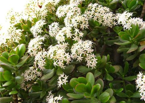 денежное дерево цветёт фото