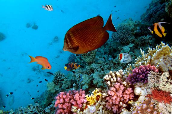oboi-na-stol.com-275865-zhivotnye-tropicheskie-rybki-korally