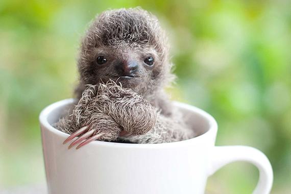 cute-baby-sloth-institute-costa-rica-sam-trull-15 (1)