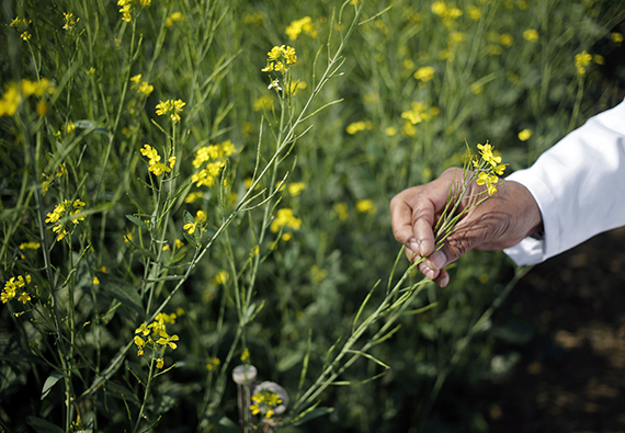 A scientist holds a genetically modified (GM) rapeseed crop under trial in New Delhi February 13, 2015. Picture taken February 13, 2015. REUTERS/Anindito Mukherjee
