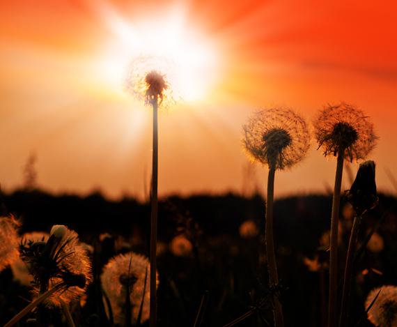 Dandelion Blowballs at Sunset