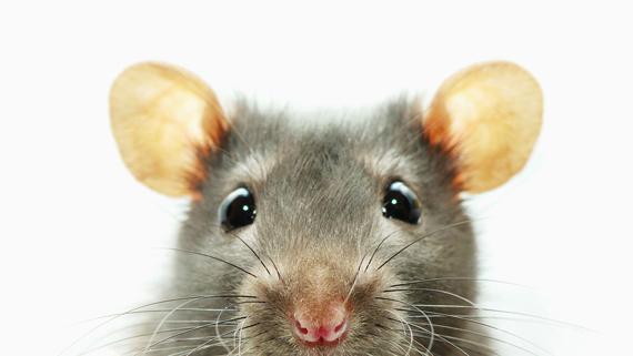 1681496-poster-1280-rat-computer